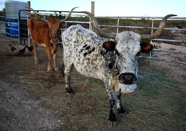 cowhead ranch e