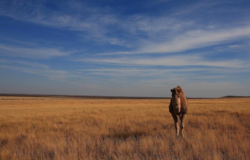 camel a