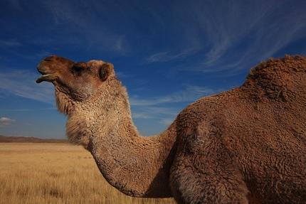camel c