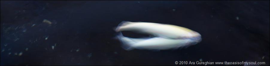 Albino Trout