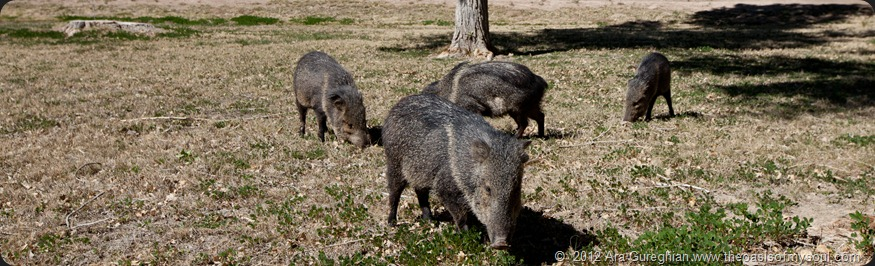 Javelinas-3 xxx