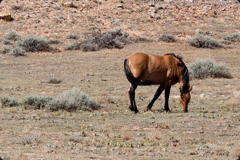Bighorn Canyon, Wild Horses.-2 xxx