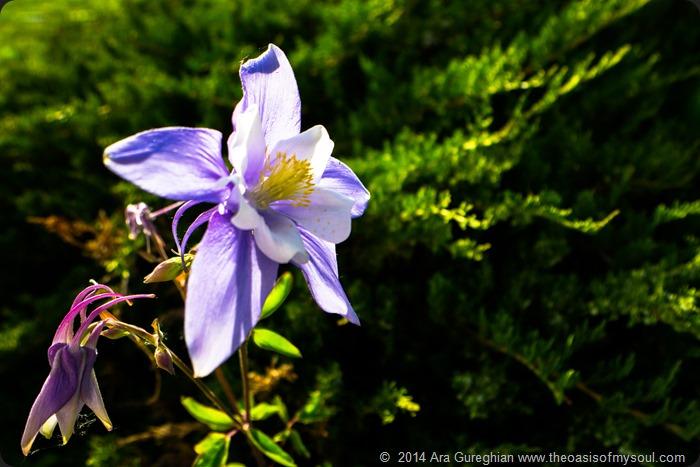 Columbine Flowers-4